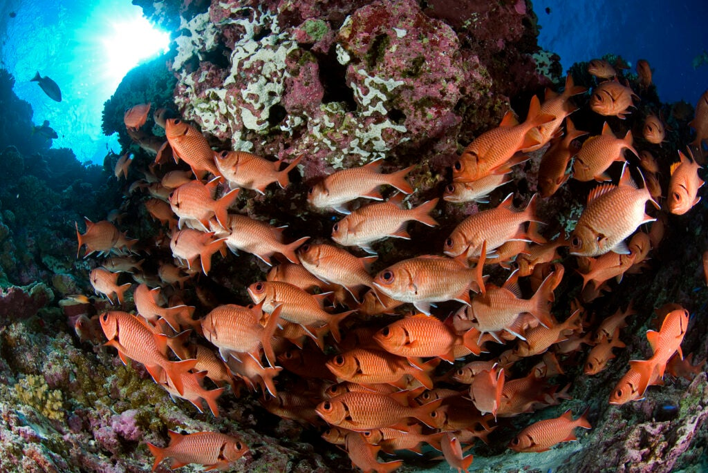 school of whitespot soldierfish swimming around a coral reef