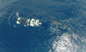Sperm whales have a surprisingly deep—and useful—culture