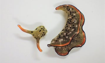 The process sea slugs use to regrow severed body parts is surprisingly common