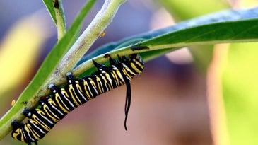 A monarch butterfly caterpillar.