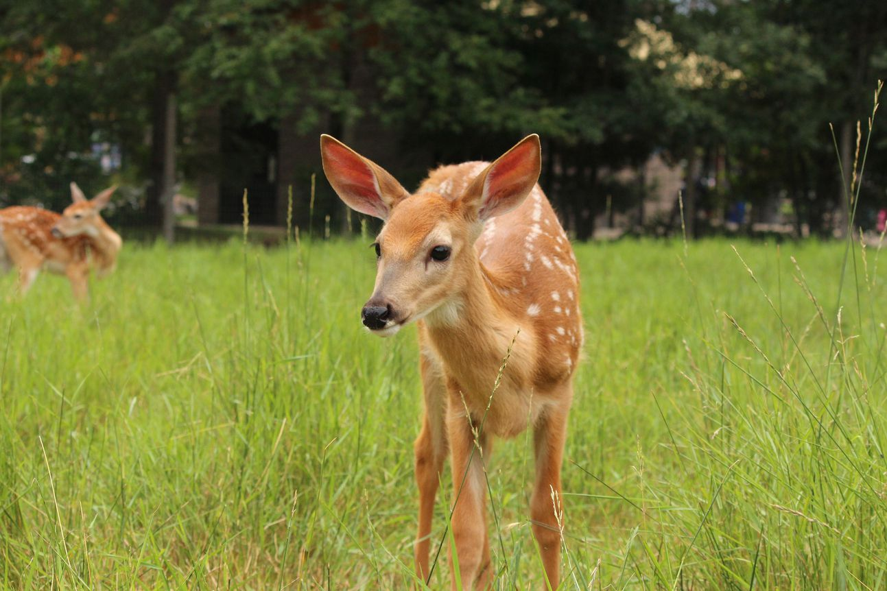 White-tailed deer fawn standing in grass