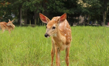White-tailed deer test positive for COVID-19 in lab studies