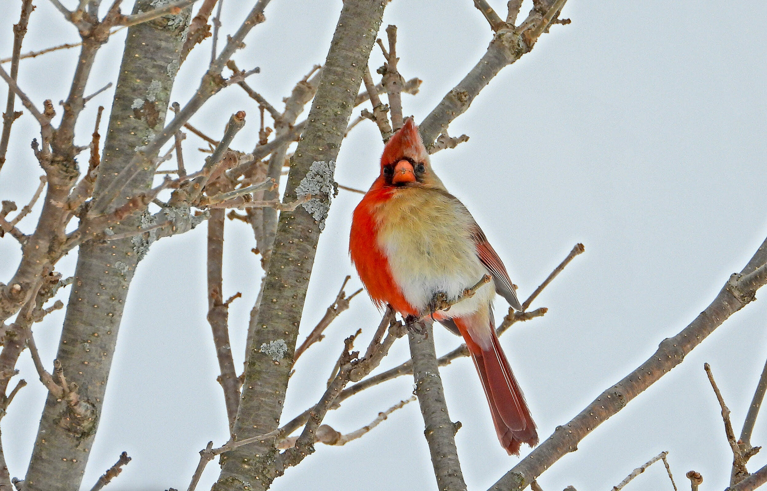 Northern cardinal with right side male red and left female tan in a bare tree