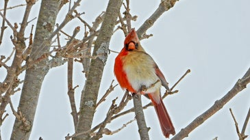 Northern cardinal bird with right side male red and left female tan in a bare tree