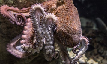 Octopus change color as they shift between sleep phases