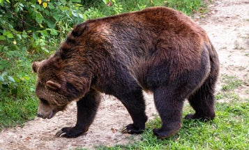 Scientists stuck grizzly bears on treadmills and confirmed they hate hills as much as we do