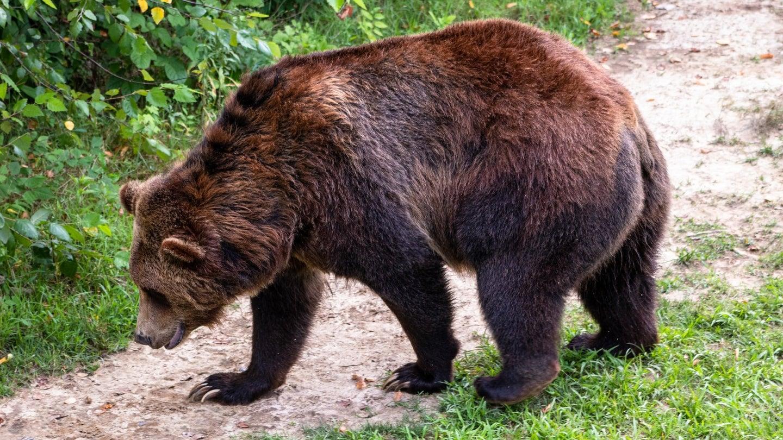 Brown bear walks on trail