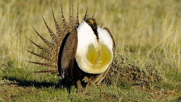 Male greater sage-grouse bird with air sacs on display in grassland habitat