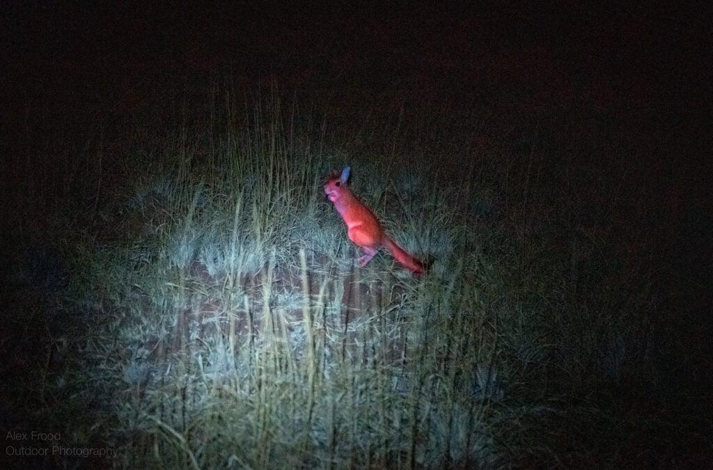 a wild biofluorescent springhare