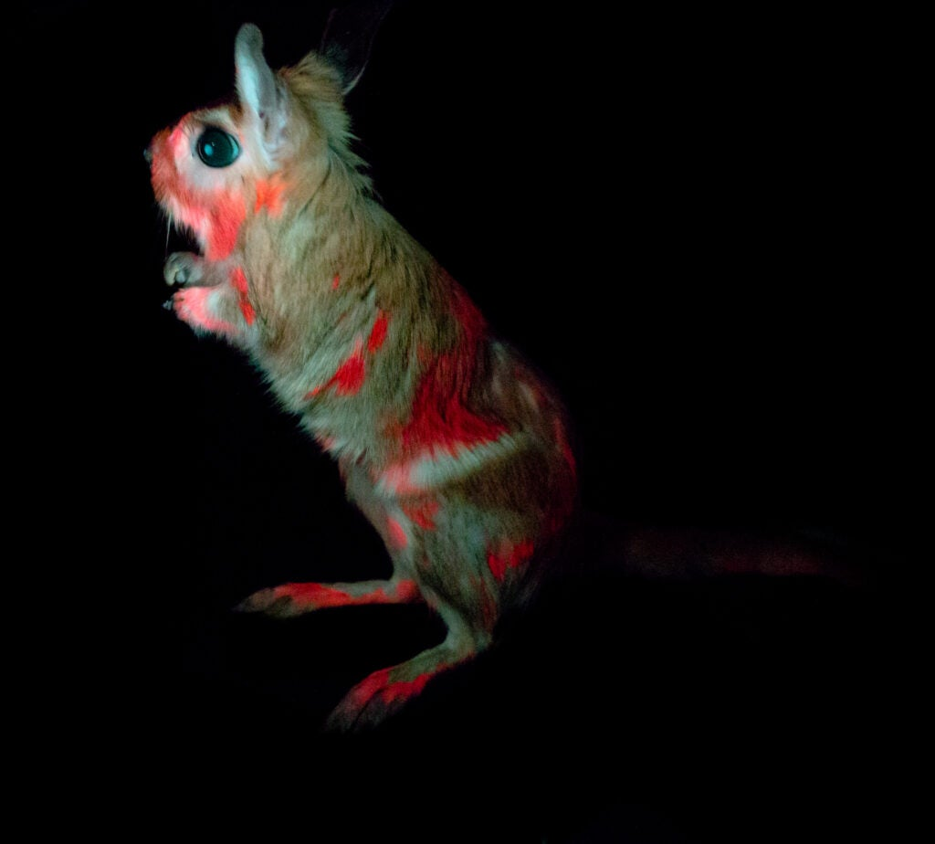 glowing pink hare