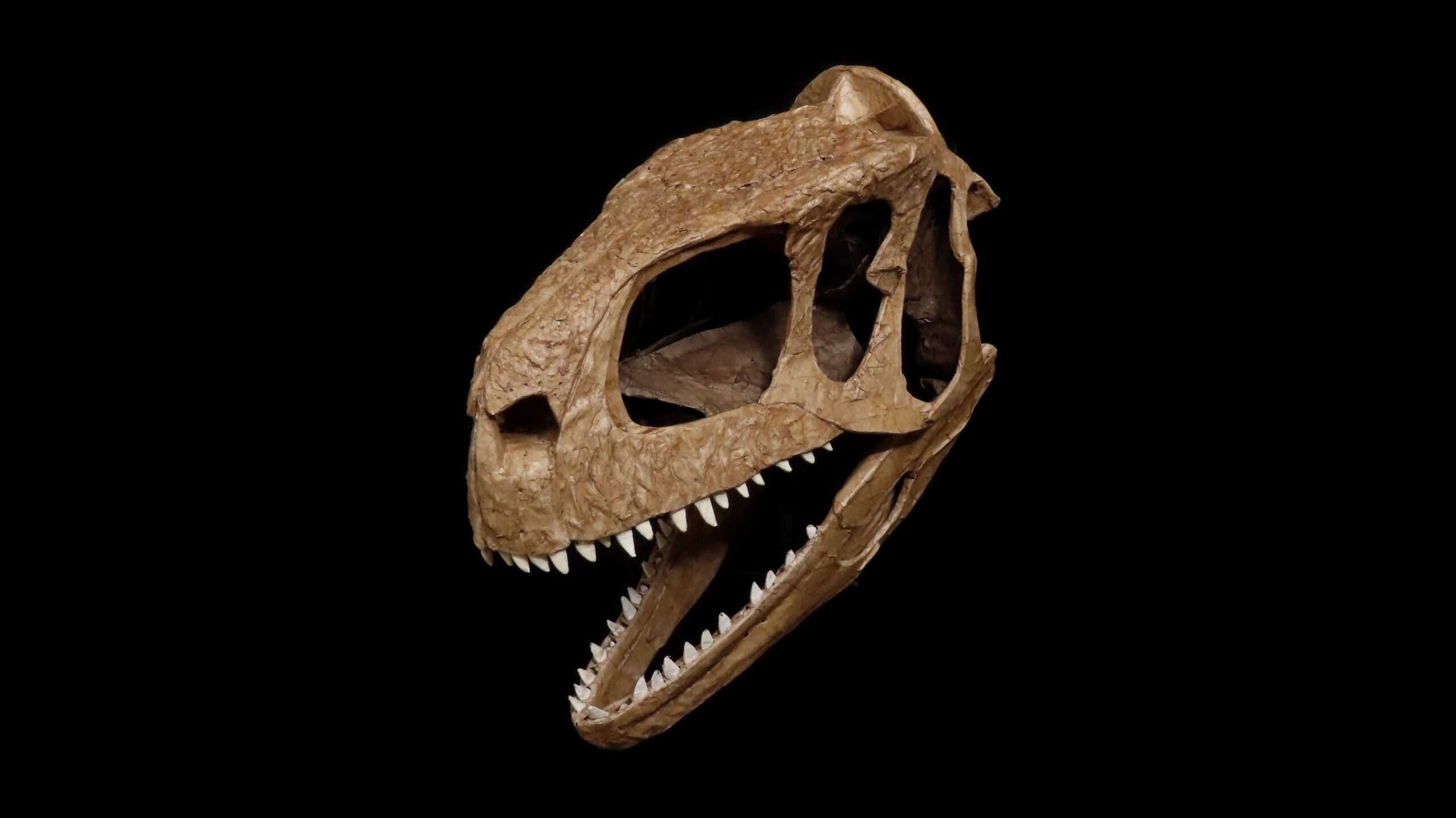 The fossilized skull of the newly discovered L. aliocranianus dinosaur.