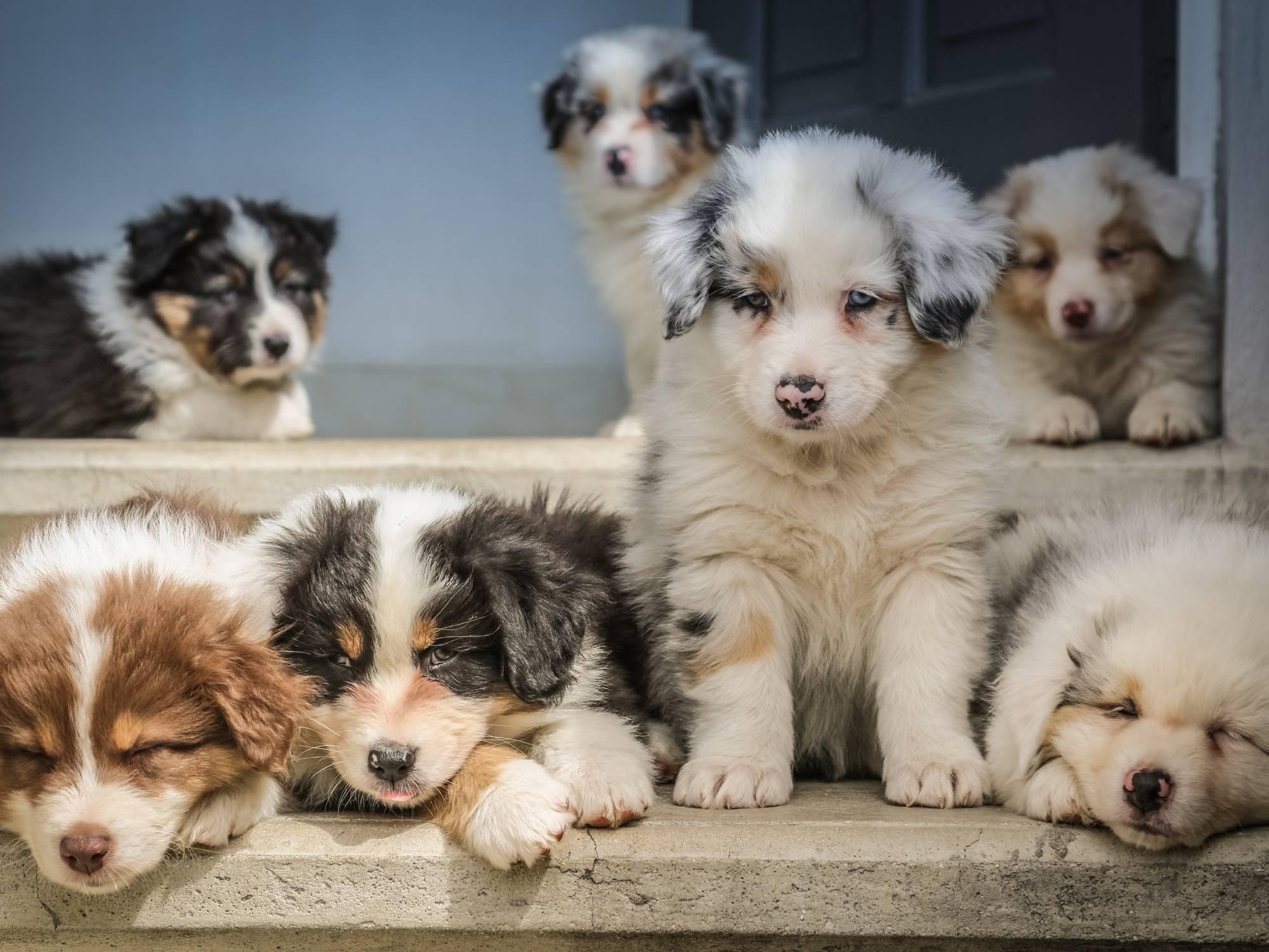 Seven Australian Shepherd puppies on some concrete stairs.