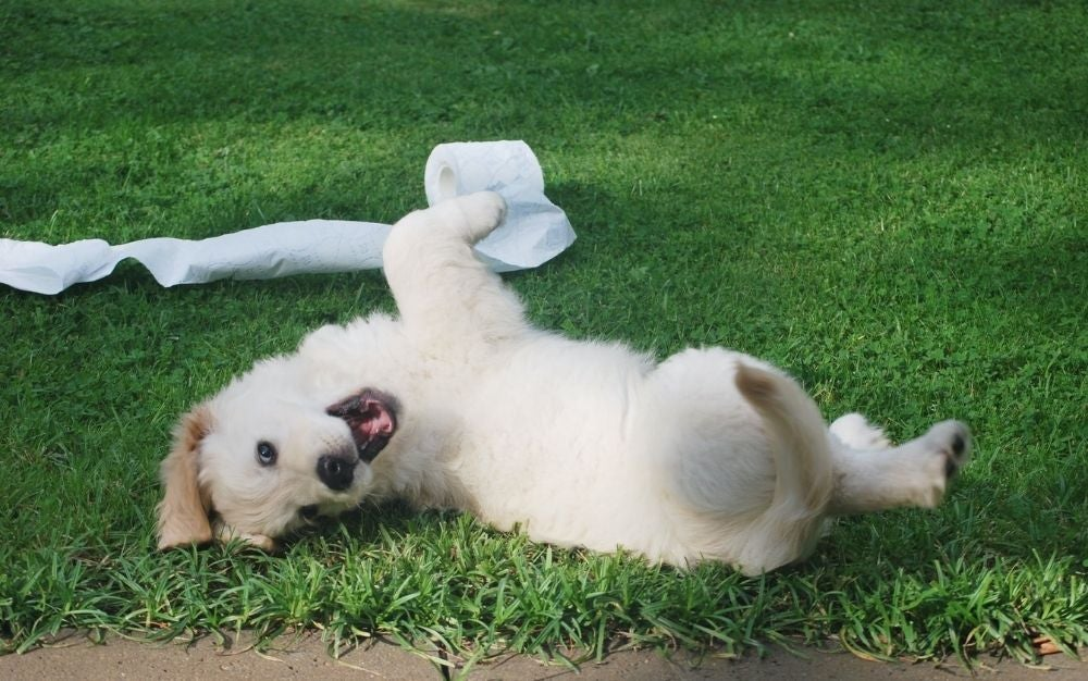 A happy white dog lying on the grass.