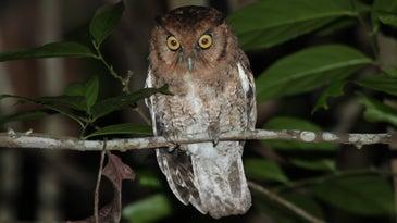 An Alagoas Brazilian screech owl