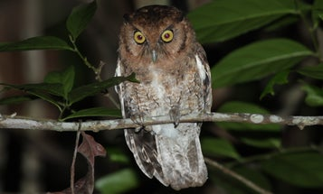 Whose hoot? DNA and sound studies help define two new owl species in Brazil.