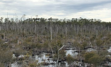 'Ghost forests' are spreading across US coastal regions