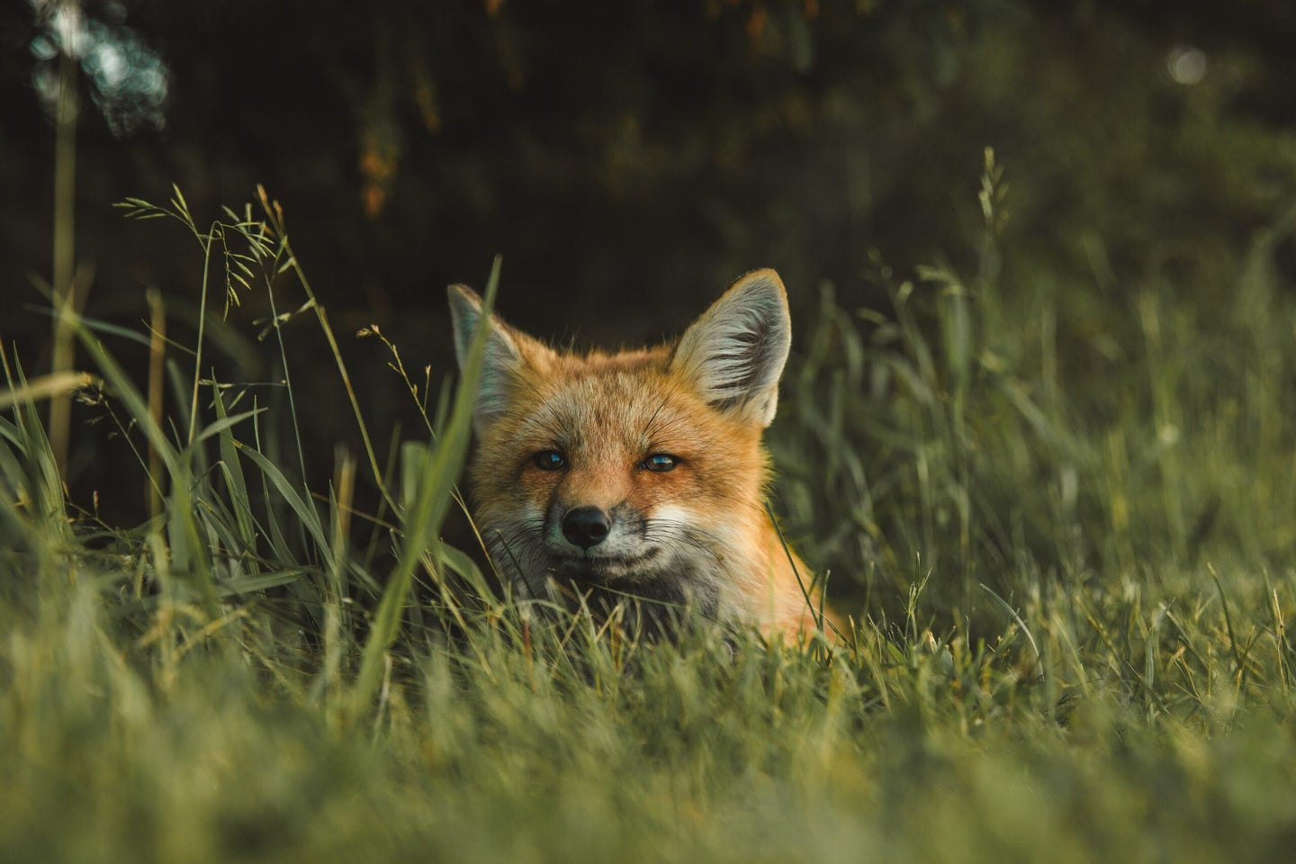 A fox sitting in some grass.