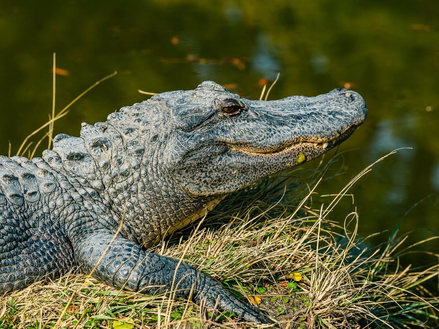 An alligator resting on a grassy bank near a body of water.