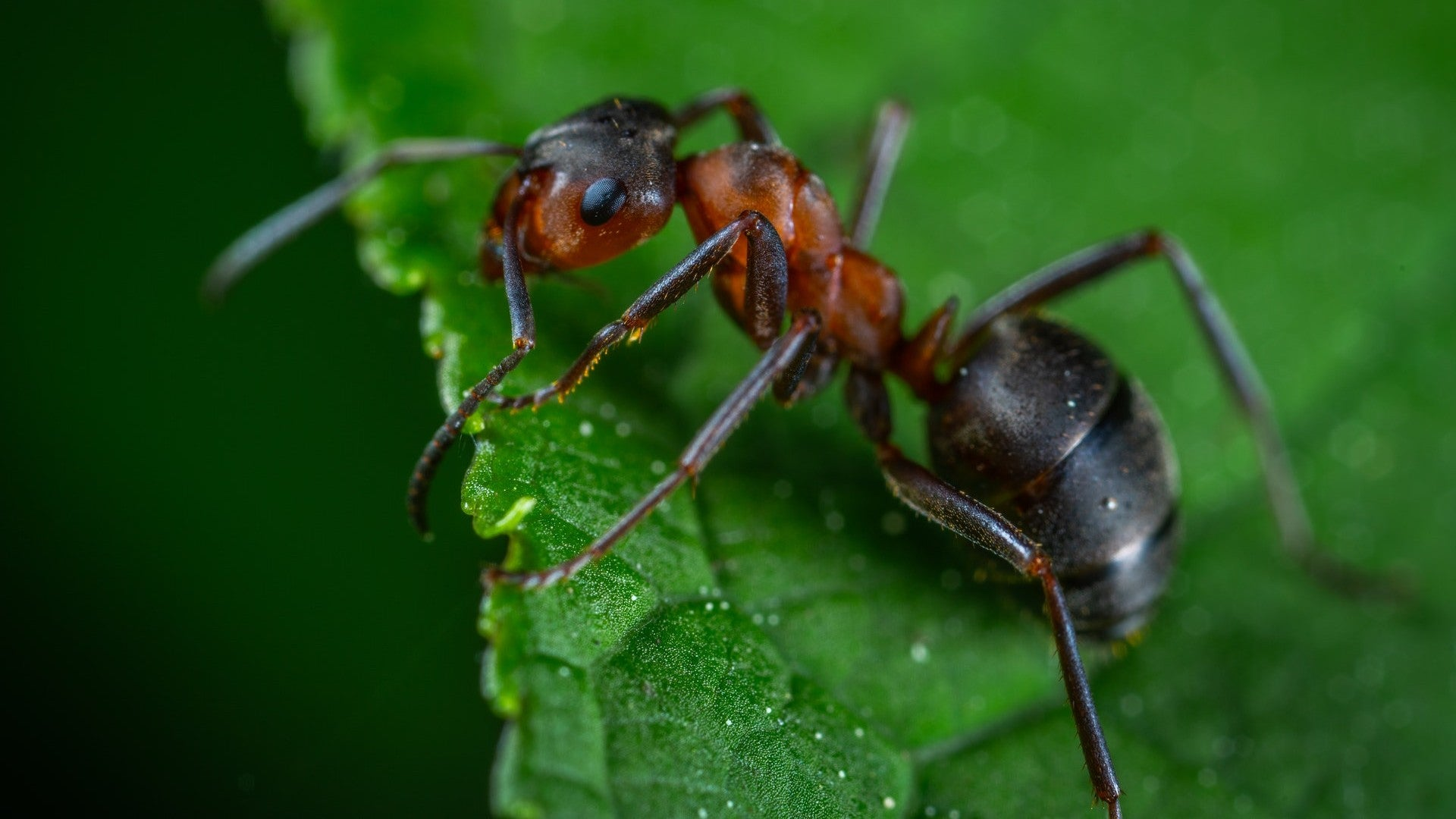 An ant on a bright green leaf.