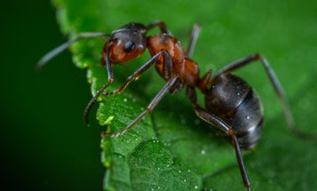 In the battle for the crown, Indian jumping ants shrink and regrow their brains
