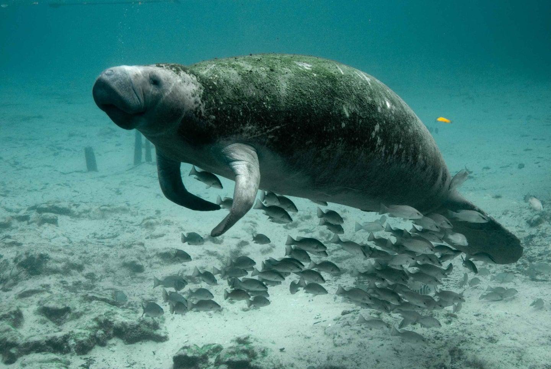 manatee underwater