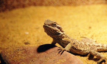 High temperatures can cause embryonic bearded dragons to change sex
