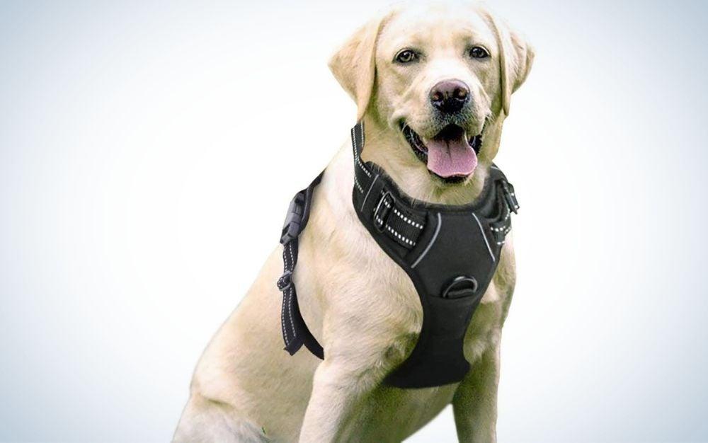 Dog wearing a black dog harness
