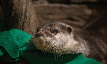 Otters just tested positive for the coronavirus