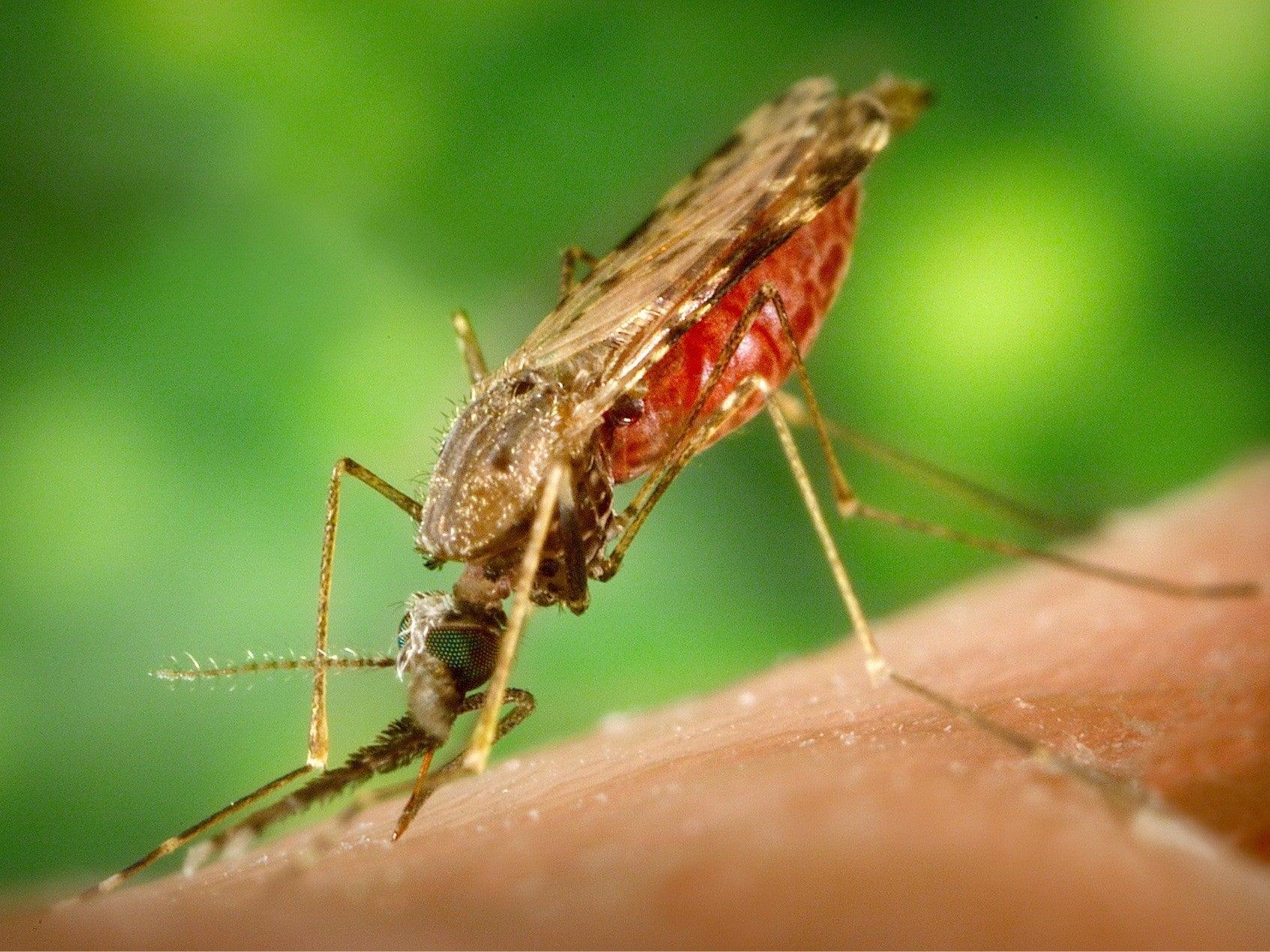 A closeup of a mosquito