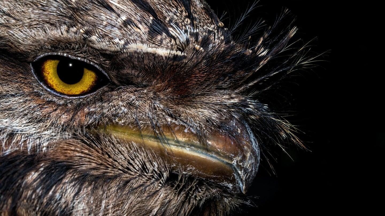 A tawny frogmouth bird.
