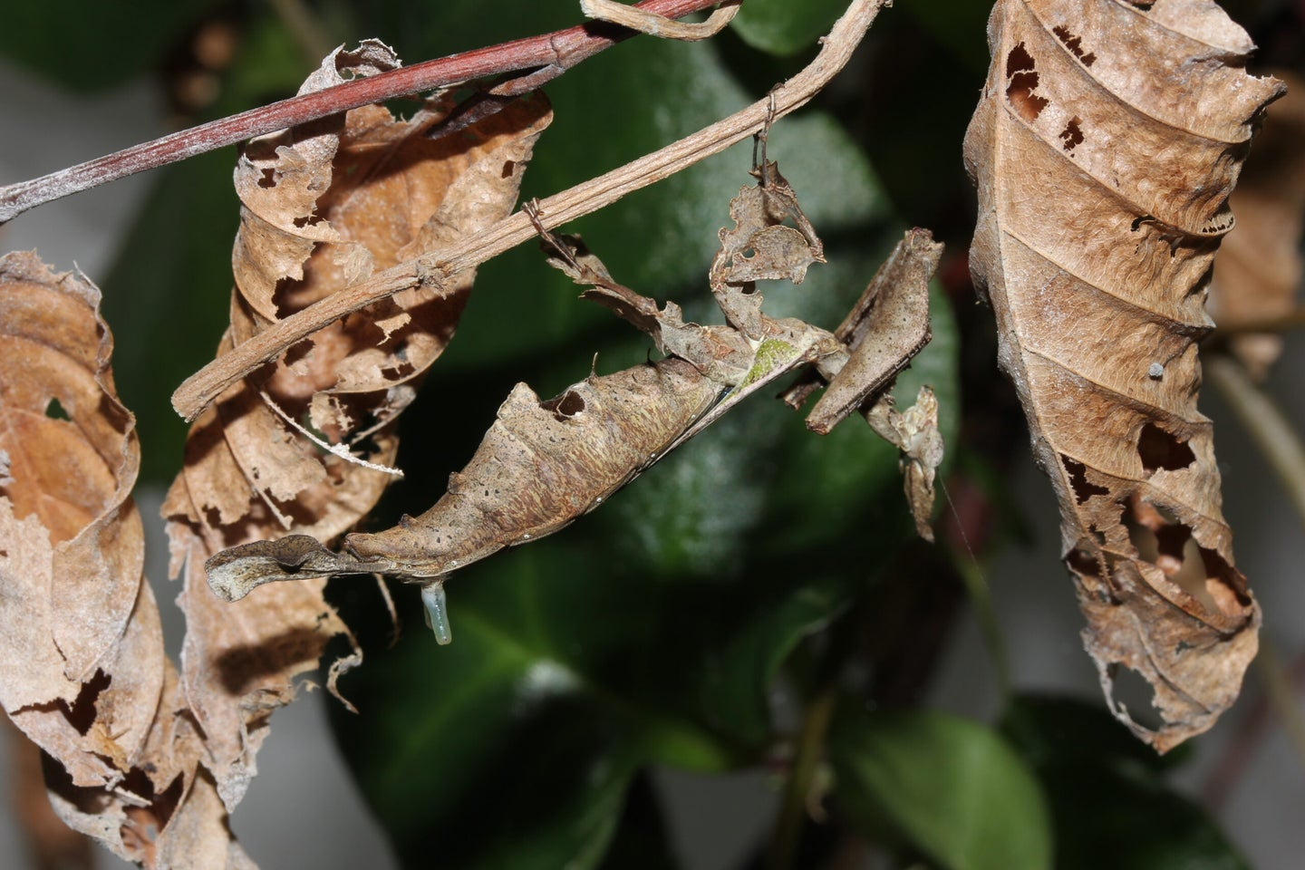 An image of the praying mantis surrounded by leaves.
