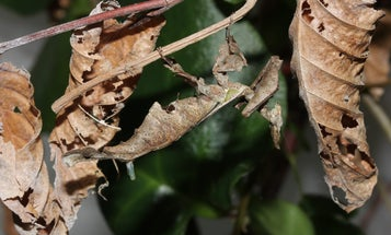 This female praying mantis has a persuasive body part it uses to find mates