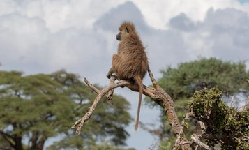 Baboon poop shows how chronic stress shortens lives