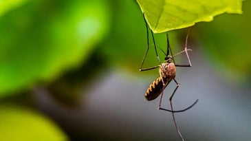 A brown mosquito caught behind a green leaf.