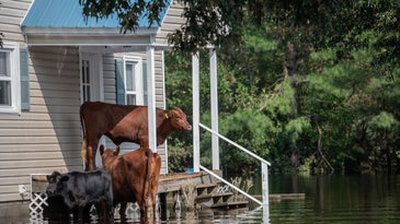 flooded house with cows on the porch