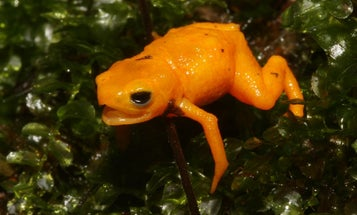 This adorable new toadlet has glowing bones