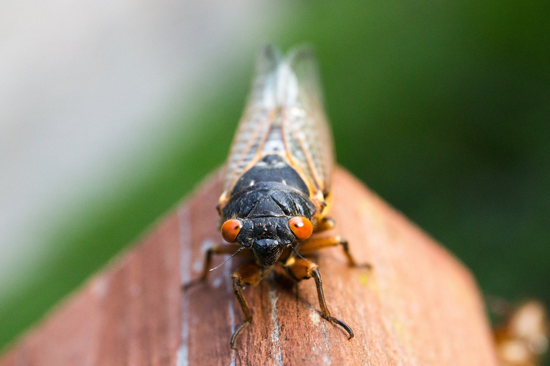Periodical cicada with red eyes on a piece of wood