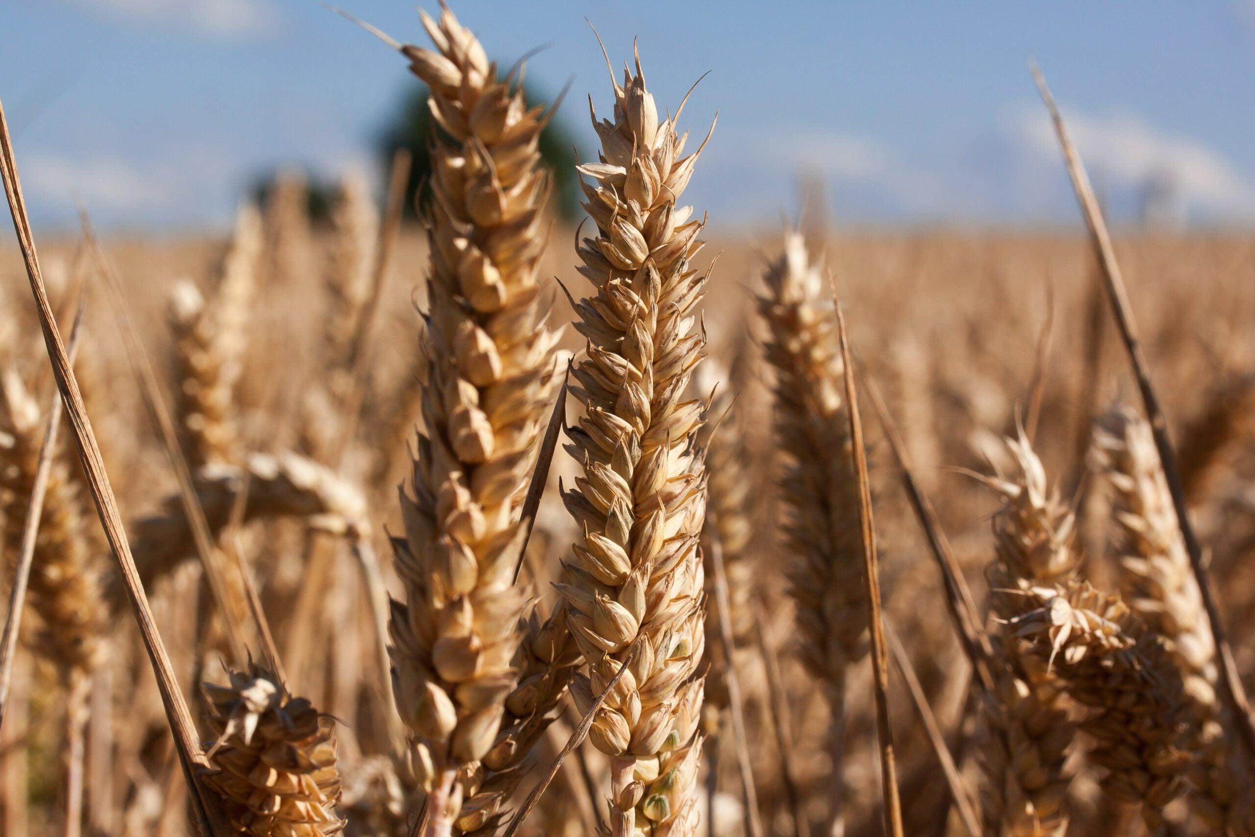 Wheat farm and blue sky