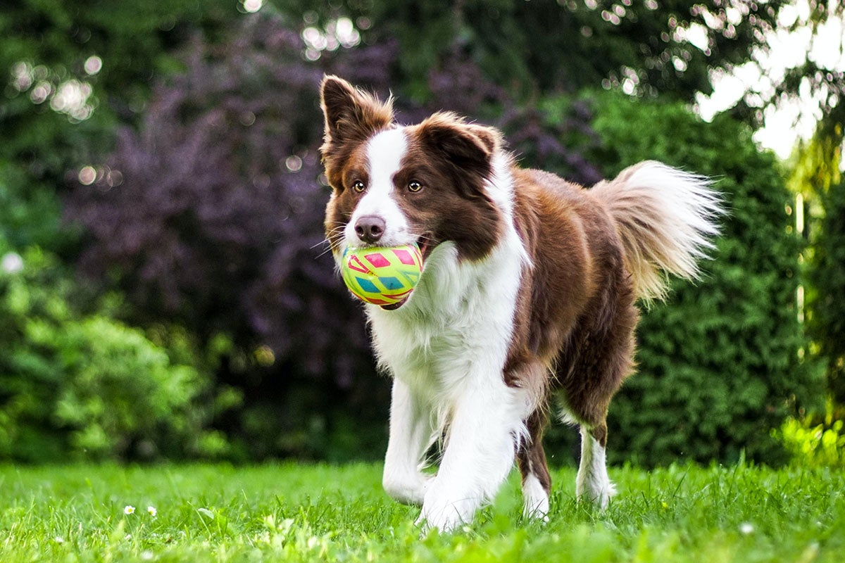 Dog running with ball.