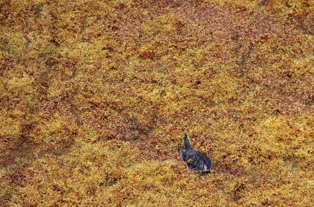 green turtle in sargassum
