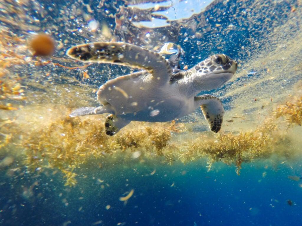 green turtle swimming in sargasso sea