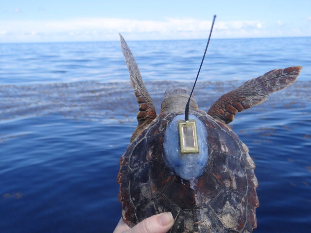 loggerhead turtle with tag leaping into ocean