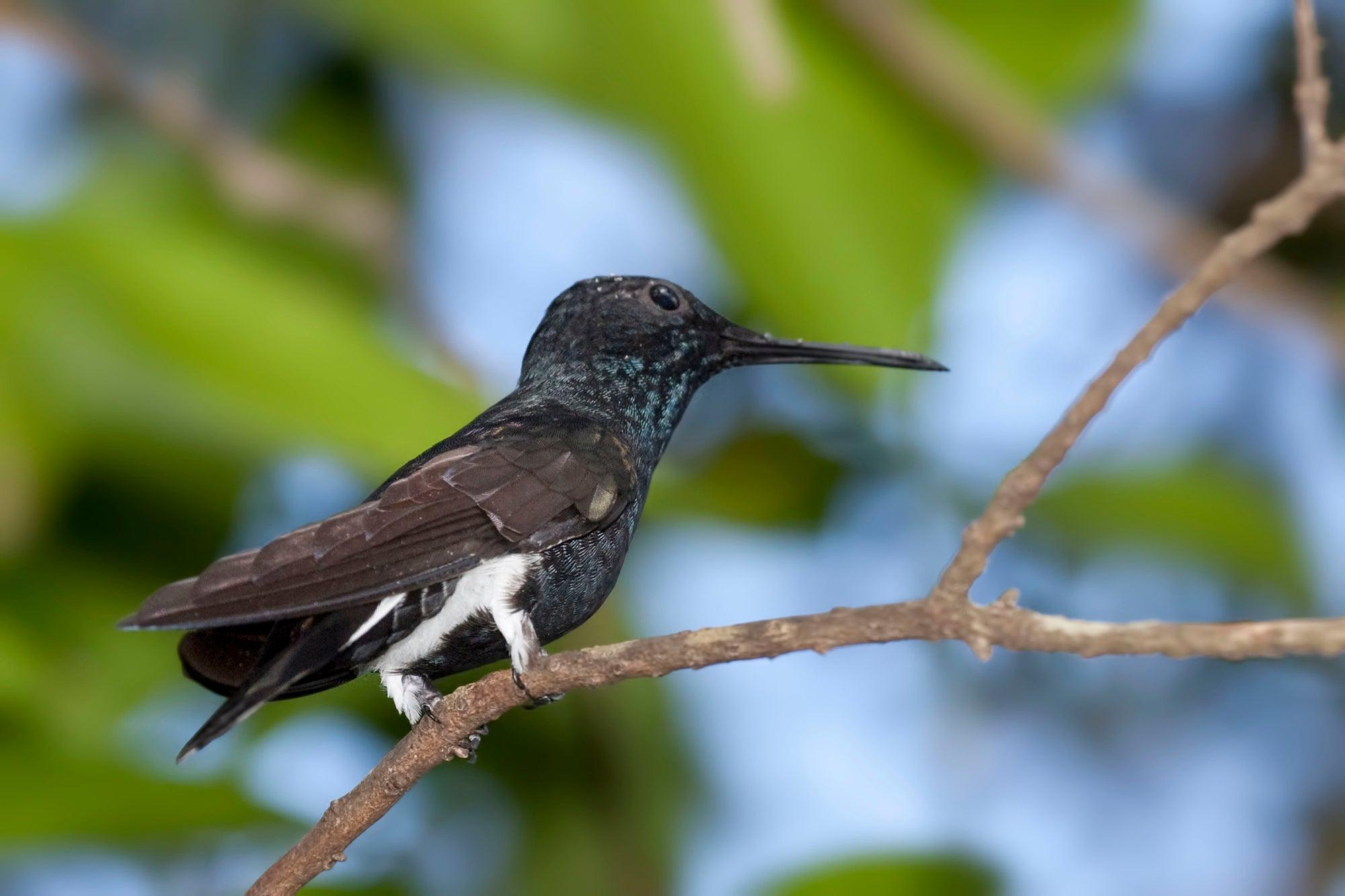 Male black jacobin hummingbird on a branch