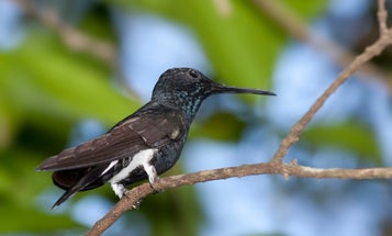 Hummingbirds routinely hit 9Gs like it's no big deal