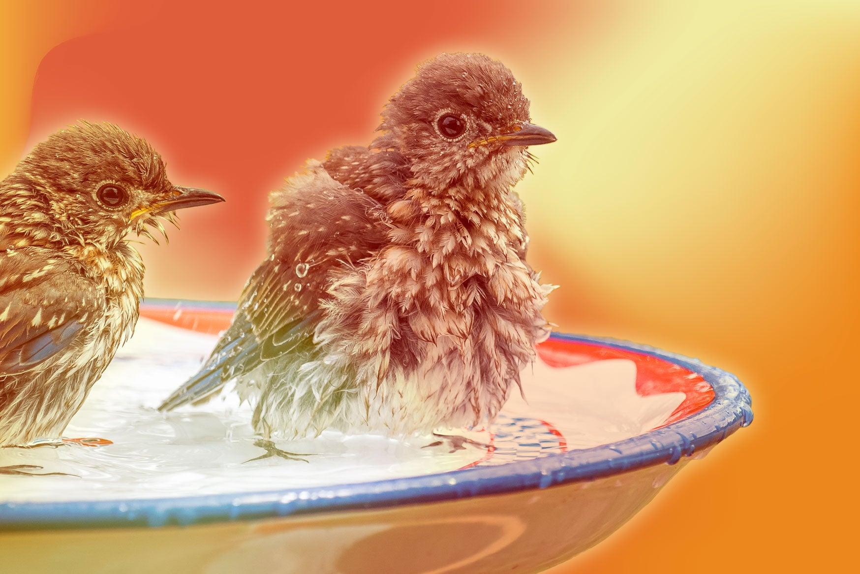 Two round birds in a birdbath.