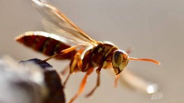 Close up image of a wasp