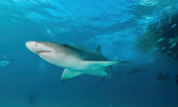 Sharks have a sixth sense for navigating the seas