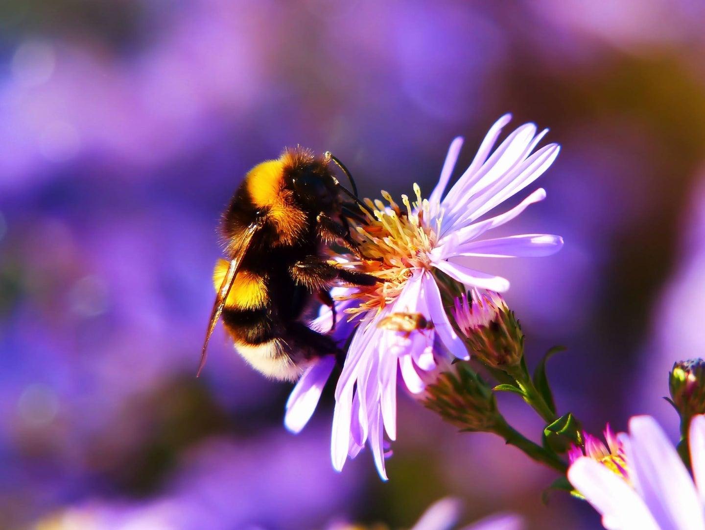 Bee-pollinating-purple-flower