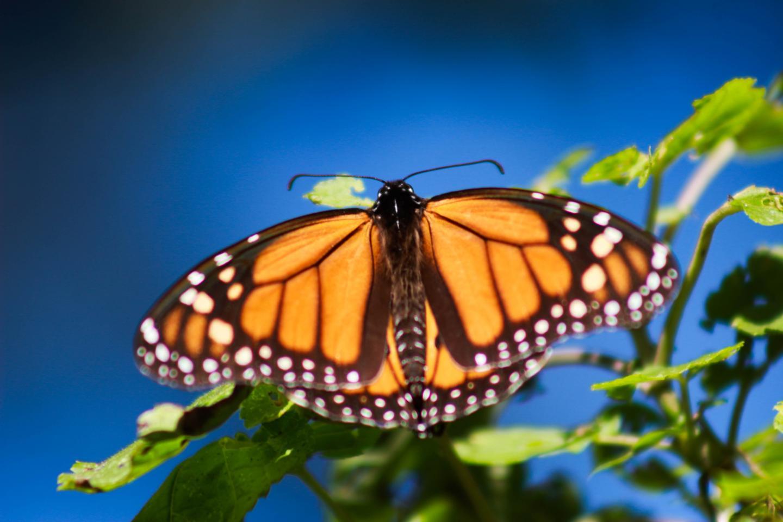 To save monarch butterflies, we need more milkweed.