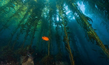 These newly discovered sea sponges were hiding in plain sight in California's kelp forests